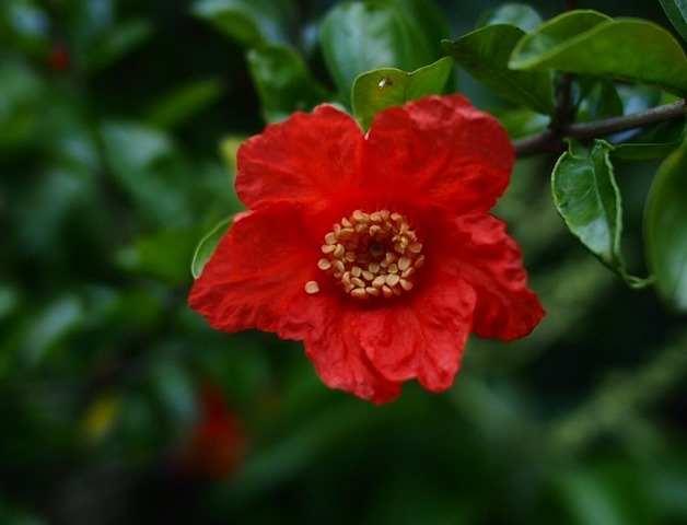 ザクロの花[4]