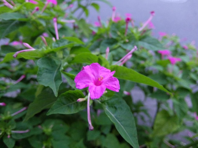 おしろい花の香り
