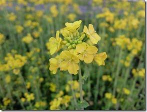 黄色い花は春の花
